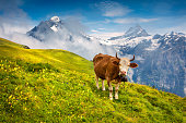 Cattle on a mountain pasture. Colorful morning view of Bernese Oberland Alps, Grindelwald village location. Wetterhorn and Klein Wellhorn mountains on background. Switzerland, Europe.