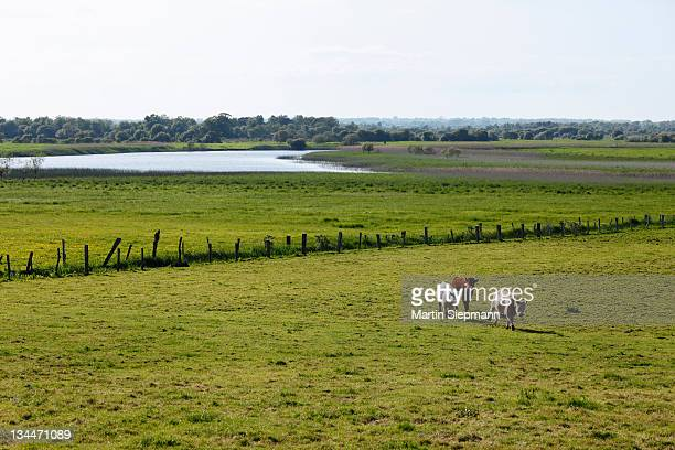Cattle on a pasture in front of the Shannon River, Clonmacnoise, County Offaly, Leinster, Republic of Ireland, Europe