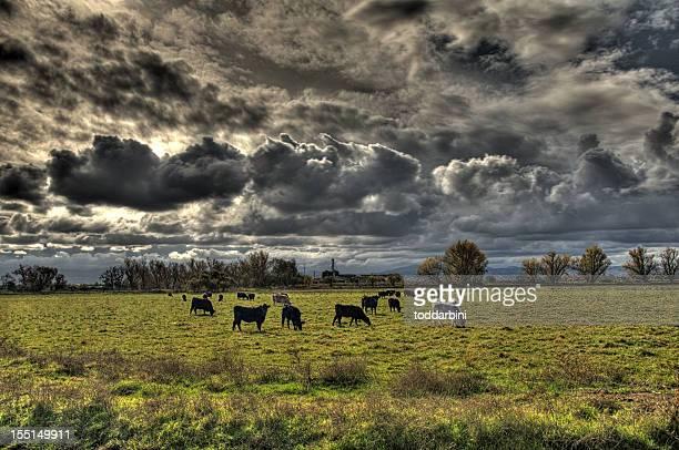 牛で、嵐の日(HDR