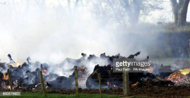 Cattle on the funeral pyre on a farm near Ardboe Co Tyrone slaughtered and burned after contracting footandmouth disease Northern Ireland's...