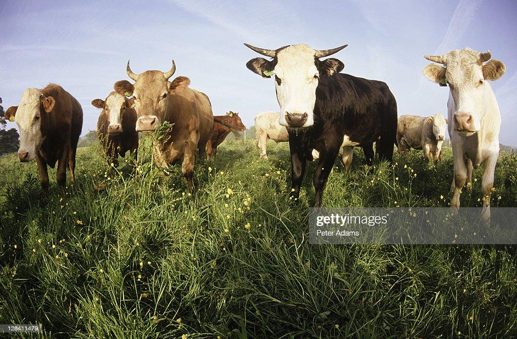 cattle : Stock Photo