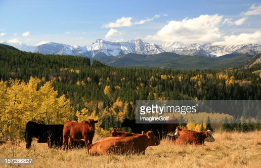 Cattle Ranching in the Alberta Foothills
