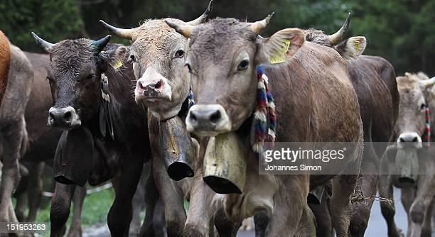 Cattle rush down from alpine mountains in the annual cattle drive descent on September 13 2012 near Oberstdorf Germany The herdsmen bring the cattle...