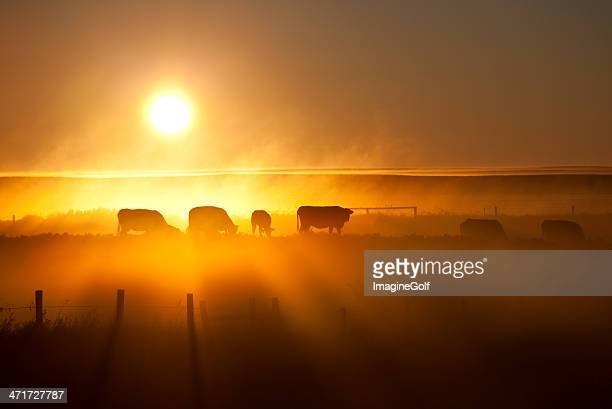 Cattle Silhouette on an Alberta Ranch