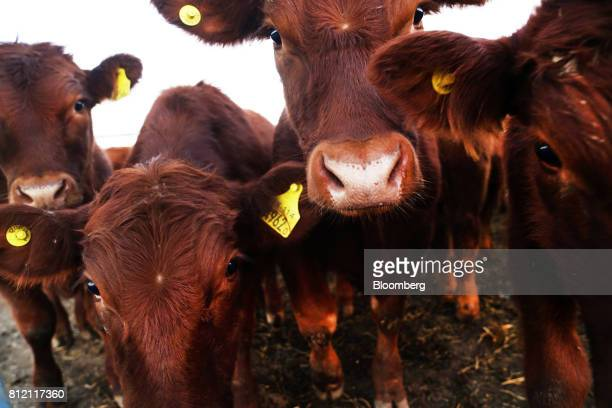 Cattle stand during the AgroActiva fair in Armstrong Santa Fe Argentina on Thursday June 1 2017 YPF SA the staterun oil company is generating about...