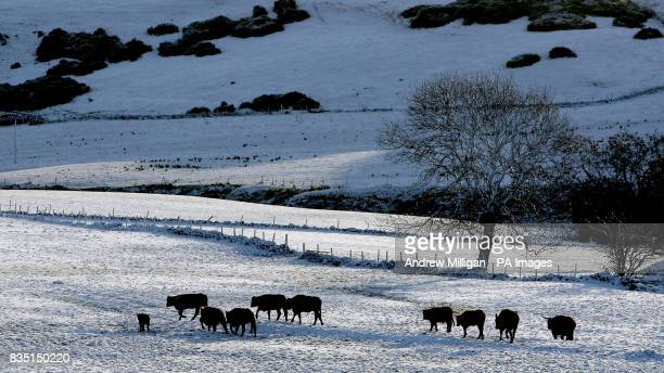 Cattle stand in a snow covered field in Denny Scotland as northern Britain today bore the brunt of wintry weather that could bring almost a foot of...