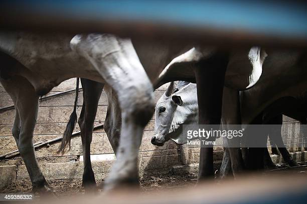 Cattle stand inside a transport truck in a deforested section of the Amazon basin on November 21 2014 in Pinheiro Brazil The cattle industry is a...