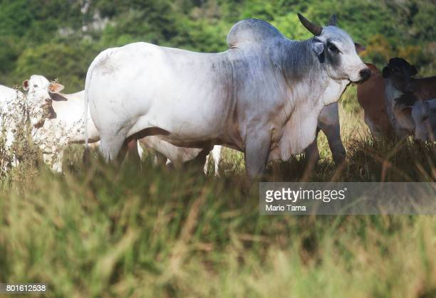 Cattle stand on a farm in a deforested section of the Amazon on June 26 2017 in Itapua do Oeste Rondonia state Brazil The United States announced...