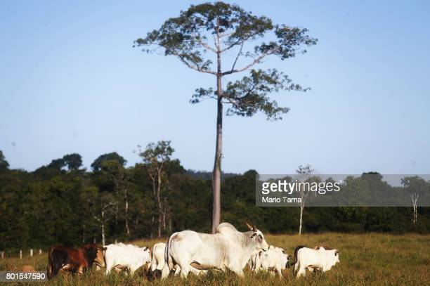 Cattle stand on a farm on deforested land in the Amazon on June 26 2017 in Itapua do Oeste Rondonia state Brazil The United States announced last...