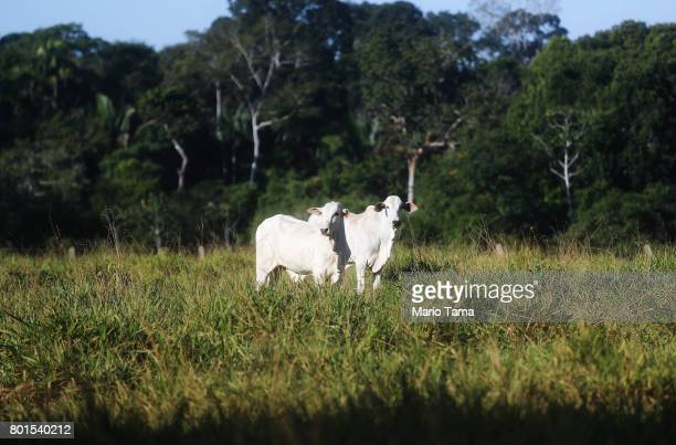 Cattle stand on a farm on June 26 2017 in Itapua do Oeste Rondonia state Brazil The United States announced last week it is suspending all fresh beef...