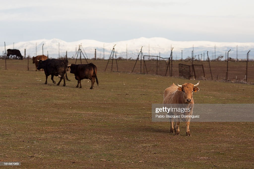 Cattle stand on pasture at the location where the proposed Eurovegas complex will be built on February 10, 2013 in Alcorcon, near Madrid, Spain. Controversial plans have been given the go ahead for the Las Vegas Sands Corporation to build Europe's biggest casino and conference centre on the outskirts of Madrid bringing thousands of much needed jobs for the Spanish economy. As multi billionaire investor Sheldon Adelson's announced his plans protestors were claiming that the 36,000 room hotel complex would bring gambling addiction, criminal activity, prostitution and environmental damage to the area.