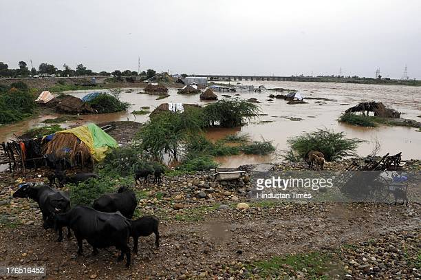 Cattle standing on the bank of flooded River Tawi after the rise in water on August 14 2013 in Jammu India Reportedly 10 people including four...