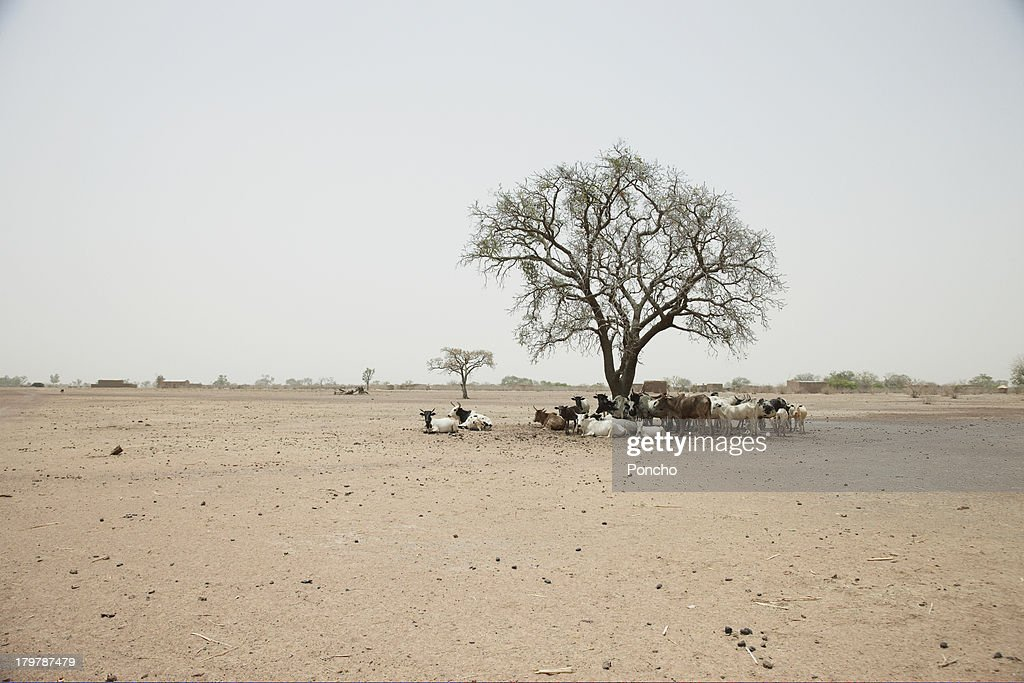 Cattle standing under a tree