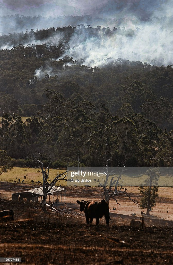Cattle stands as smoke rises all around, near the town of Seaton on January 19, 2013 in Australia. Bushfires in Victoria have claimed one life and destroyed several houses as record heat continues to create extreme fire conditions throughout Australia.