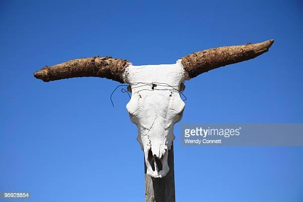 Cattle steer skull new mexico