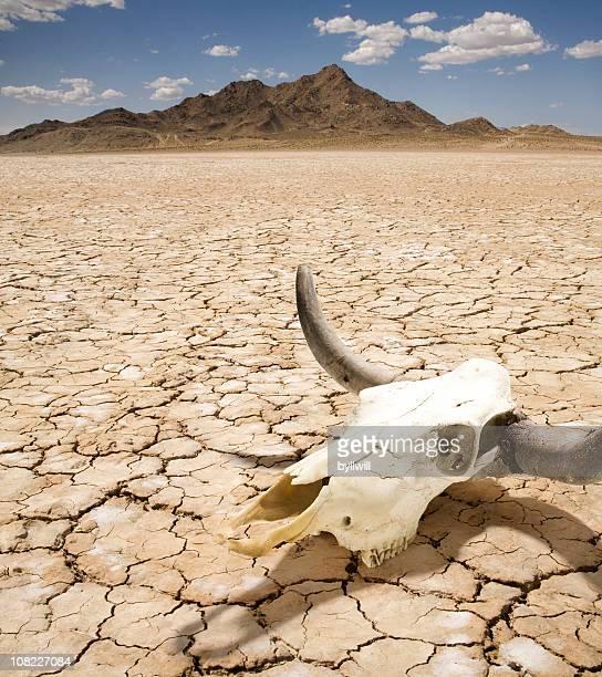 Rind Stierkopf auf trockene Wüste Land