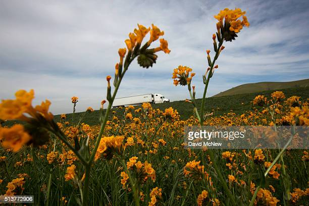 Cattle walk through a landscape of wildflowers near California State Route 223 on March 4 2016 west of Tehachapi California Despite hopes that the...