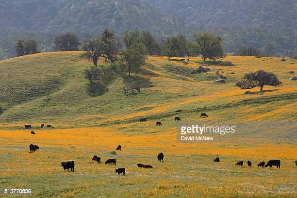 Cattle walk through wildflowers near California State Route 223 on March 4 2016 west of Tehachapi California Despite hopes that the major El Nino...
