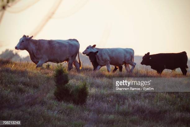 Cattle Walking On Grassy Field Against Clear Sky During Sunset