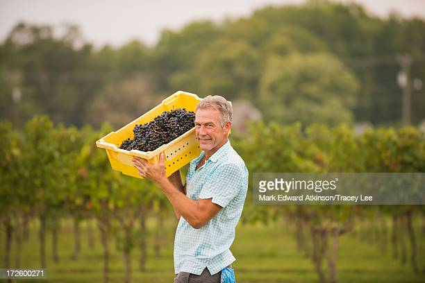 Caucasian farmer carrying grapes in vineyard