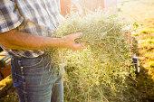 Caucasian farmer holding bundle of alfalfa