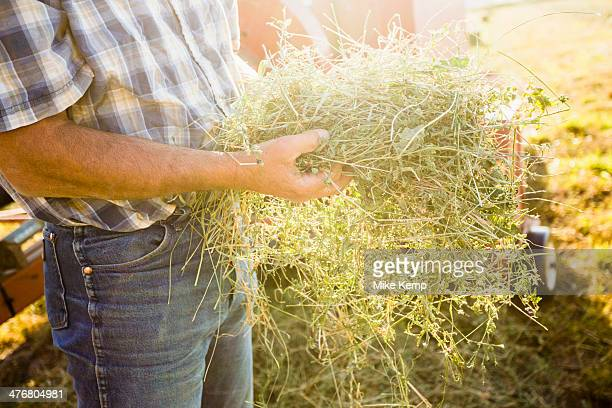 Caucasian farmer holding bundle of alfalfa