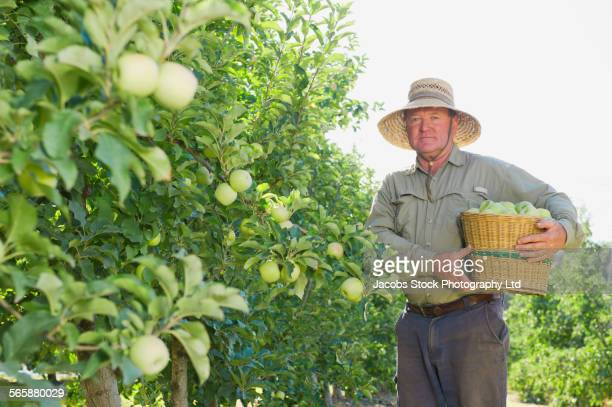 Caucasian farmer picking apples in orchard