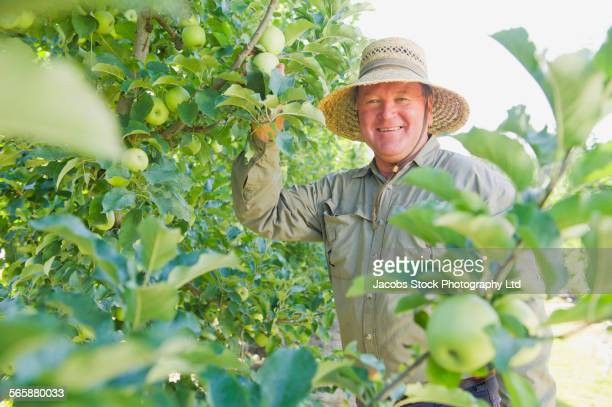 Caucasian farmer picking apples in tree