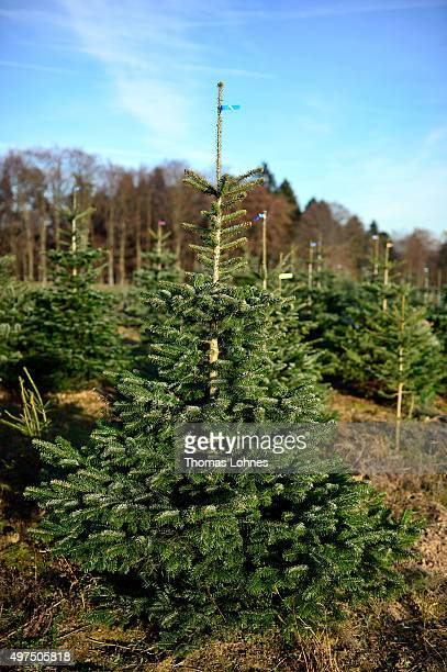 Caucasian fir is pictured at a christmas tree field on November 16 2015 near Mudau Germany The Christmas trees that have grown six to seven years are...