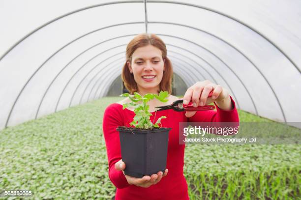 Caucasian gardener pruning potted plant in greenhouse