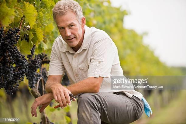 Caucasian man picking grapes in vineyard