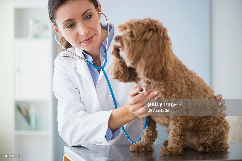 Caucasian veterinarian checking heartbeat of dog