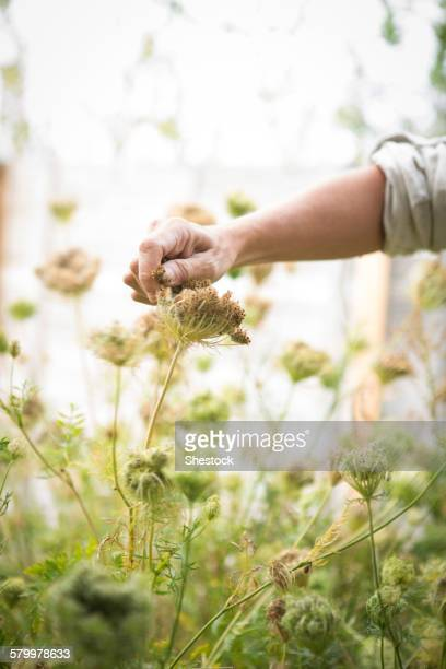 Caucasian woman harvesting flower seeds in garden