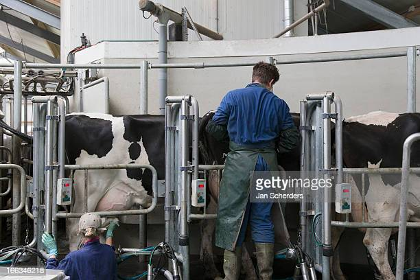 Caucasian workers with milking cows