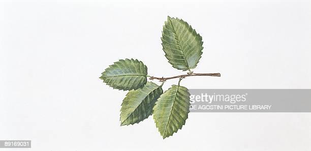 Caucasian Zelkova leaf illustration