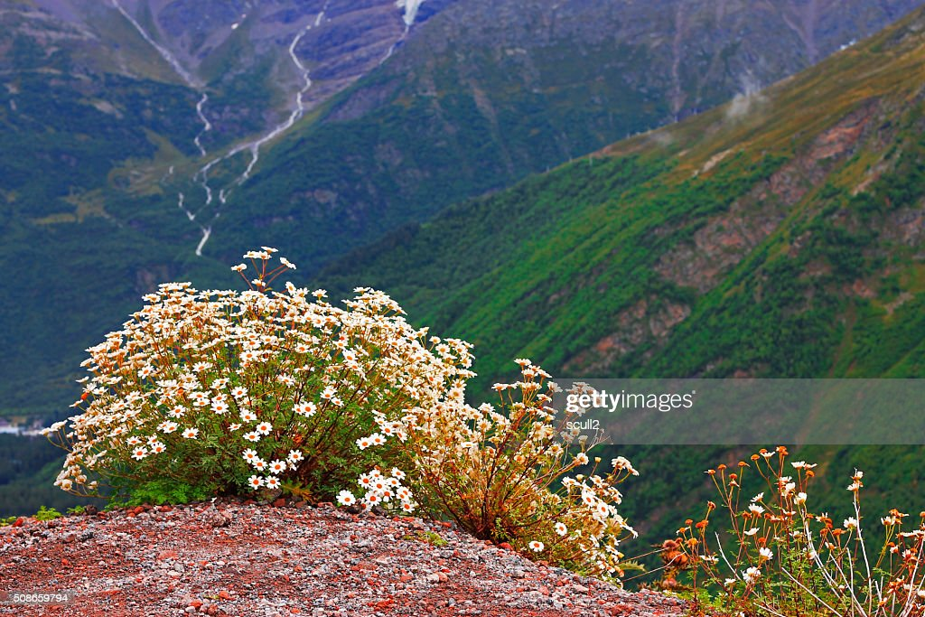 Caucasus mountain landscape and bush of camomiles : Stock Photo