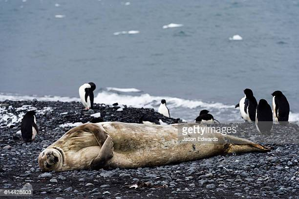 A Weddell Seal sleeping on a black volcanic beach in Antarctica.