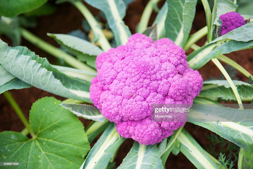 cauliflower colored purple in garden : Stock Photo