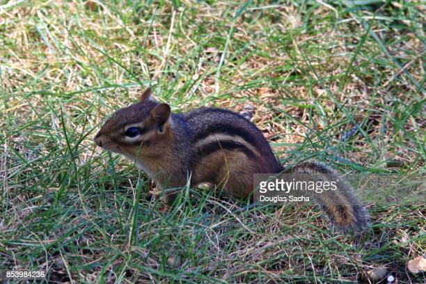 Cautious Chipmunk in the wild (Tamias striatus)