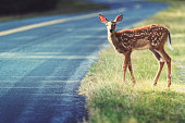 A deer fawn stares cautiously before crossing the Kejimkujik Main Parkway.