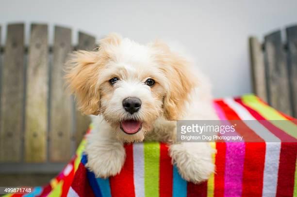 A Cavachon puppy lying on a garden table