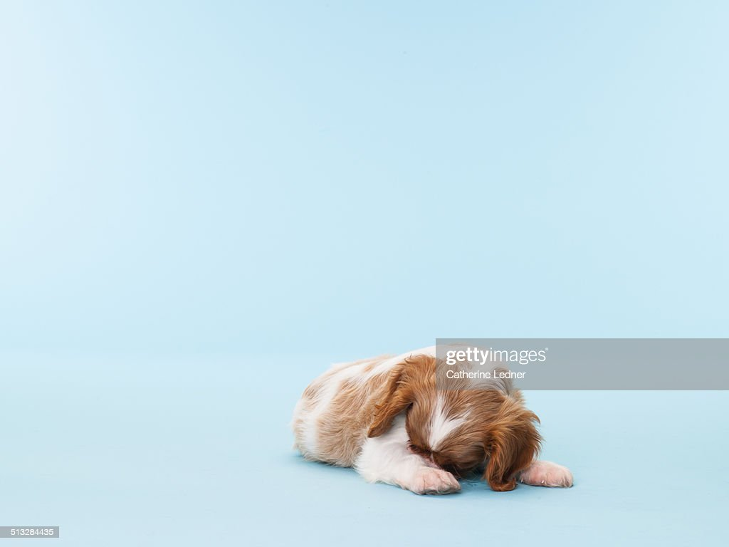 Cavalier King Chalres Burrying it's Head : Stock Photo