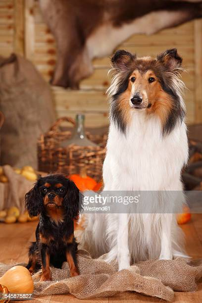 Cavalier King Charles Spaniel and American Collie sitting in an autumnal decorated barn
