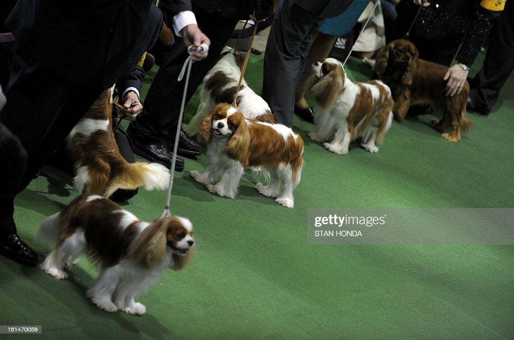 Cavalier King Charles Spaniel are judged at the Westminster Kennel Club Dog Show February 11, 2013 in New York. AFP PHOTO/Stan HONDA