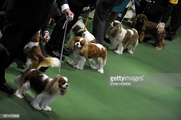 Cavalier King Charles Spaniel are judged at the Westminster Kennel Club Dog Show February 11 2013 in New York AFP PHOTO/Stan HONDA