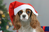 Cavalier King Charles Spaniel at christmas time
