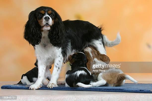 Cavalier King Charles Spaniel, bitch nursing puppies, 7 weeks