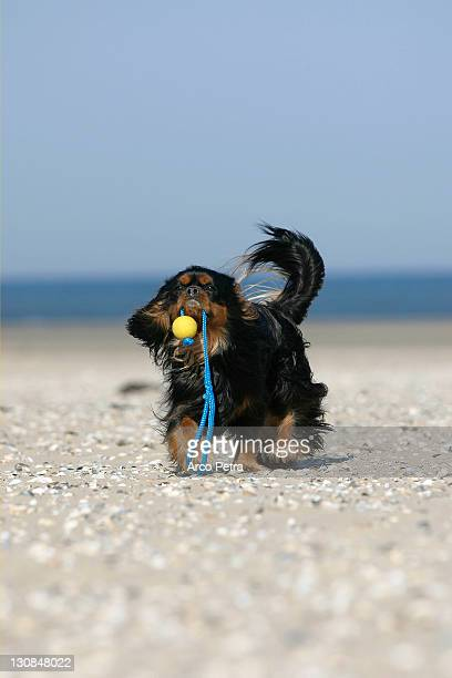 Cavalier King Charles Spaniel, black-and-tan, retrieving ball at beach