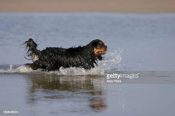 Cavalier King Charles Spaniel, black-and-tan side, wet