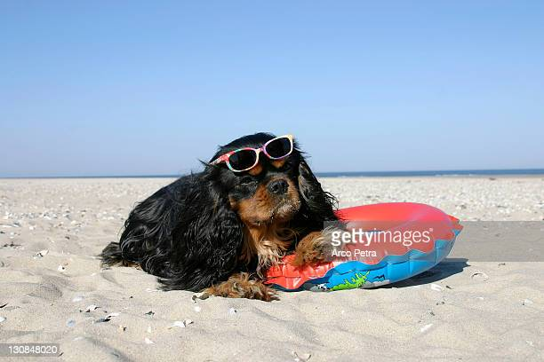 Cavalier King Charles Spaniel, black-and-tan, with swimming belt and sunglasses at beach